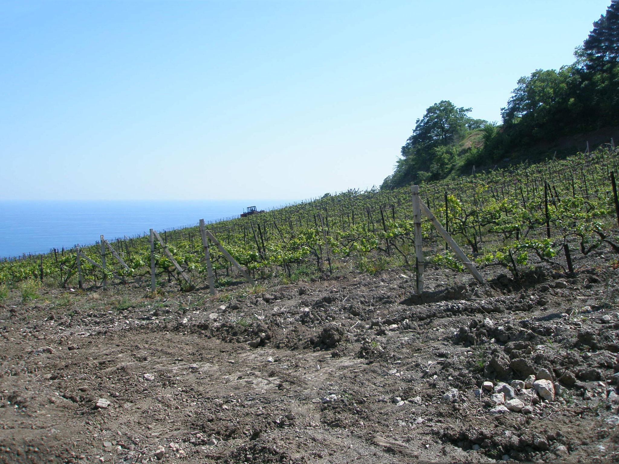 Виноградник возле озера