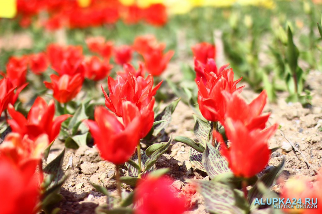 «Парад тюльпанов»