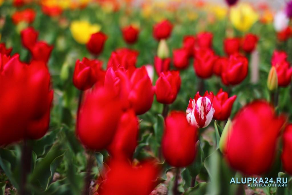 «Парад тюльпанов» в Никитском ботаническом саду