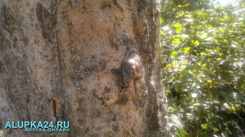 Пробковый дуб: из коры такого дерева делают пробки для алкогольных напитков