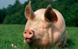 Россельхознадзор не пустил в Ялту испорченную свинину