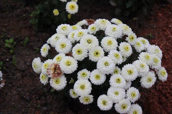 Бал хризантем 4, озеленят хризантемами