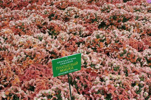 В Никитском Ботаническом саду стартовал «Бал хризантем»