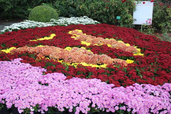 Хризантемы в Никитском Ботаническом саду 2