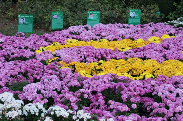 Хризантемы в Никитском Ботаническом саду