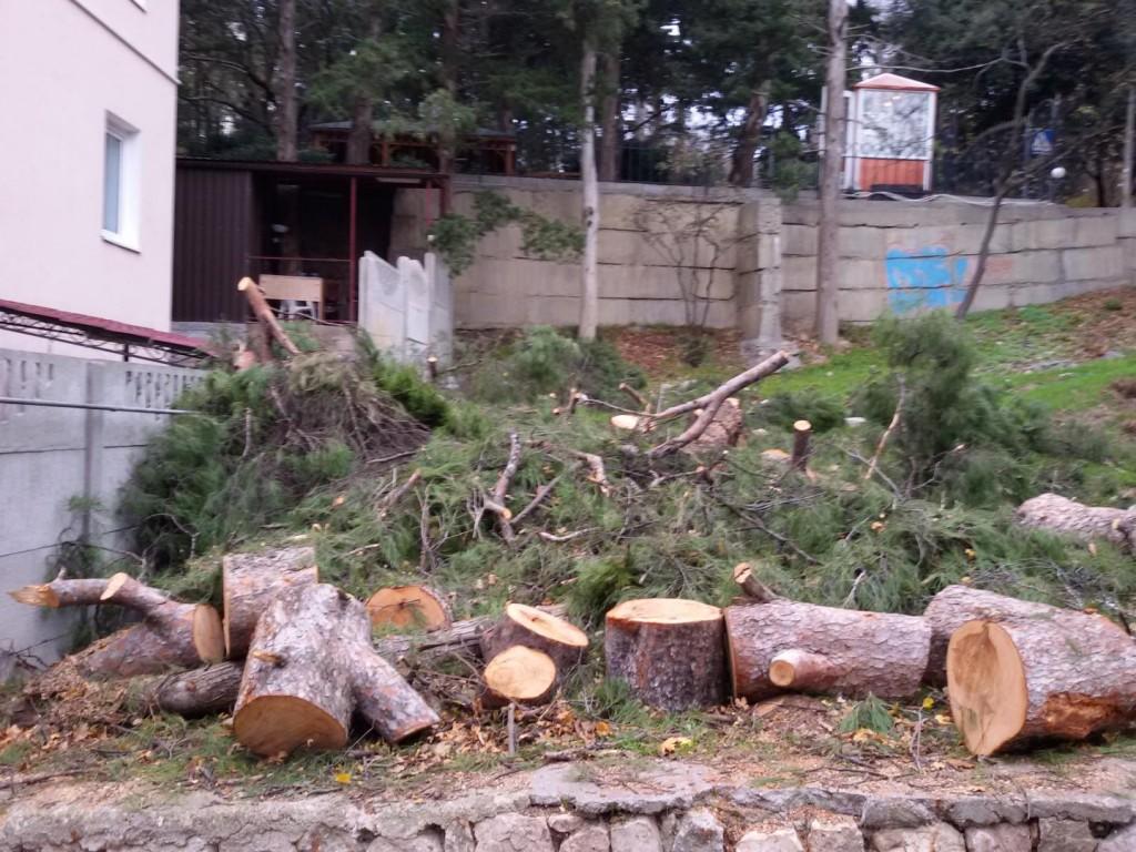 В Гаспре продолжается вырубка многолетних сосен