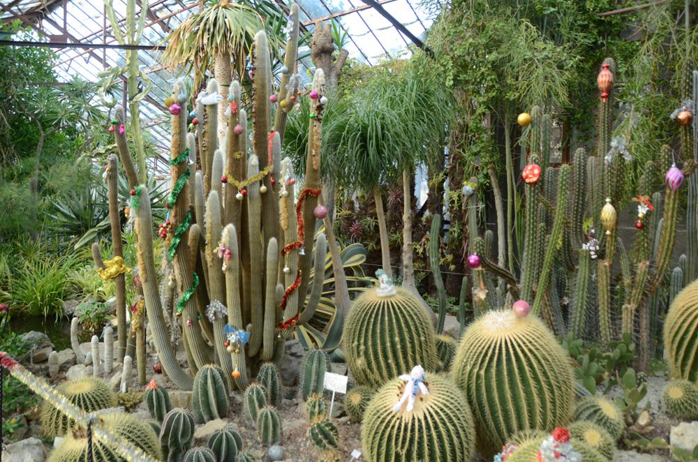 Никитский ботанический сад украшает к Новому году кактусы
