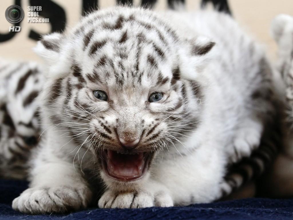 В Ялтинском зоопарке «Сказка» погибло два бенгальских тигрёнка. причина - кошачья чумка