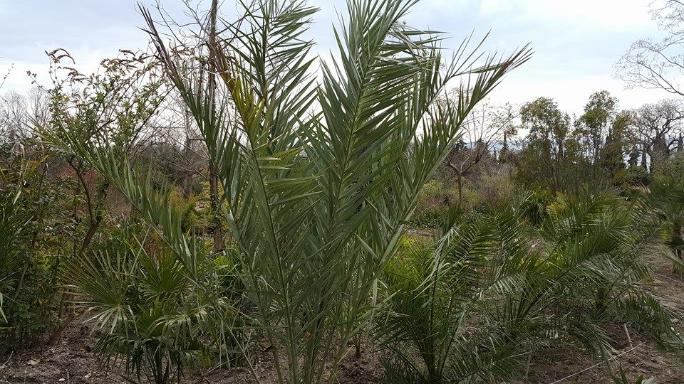 Пальмы в Никитском ботаническом саду