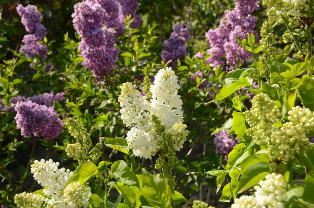В Никитском ботаническом саду зацвёл сирингарий 5