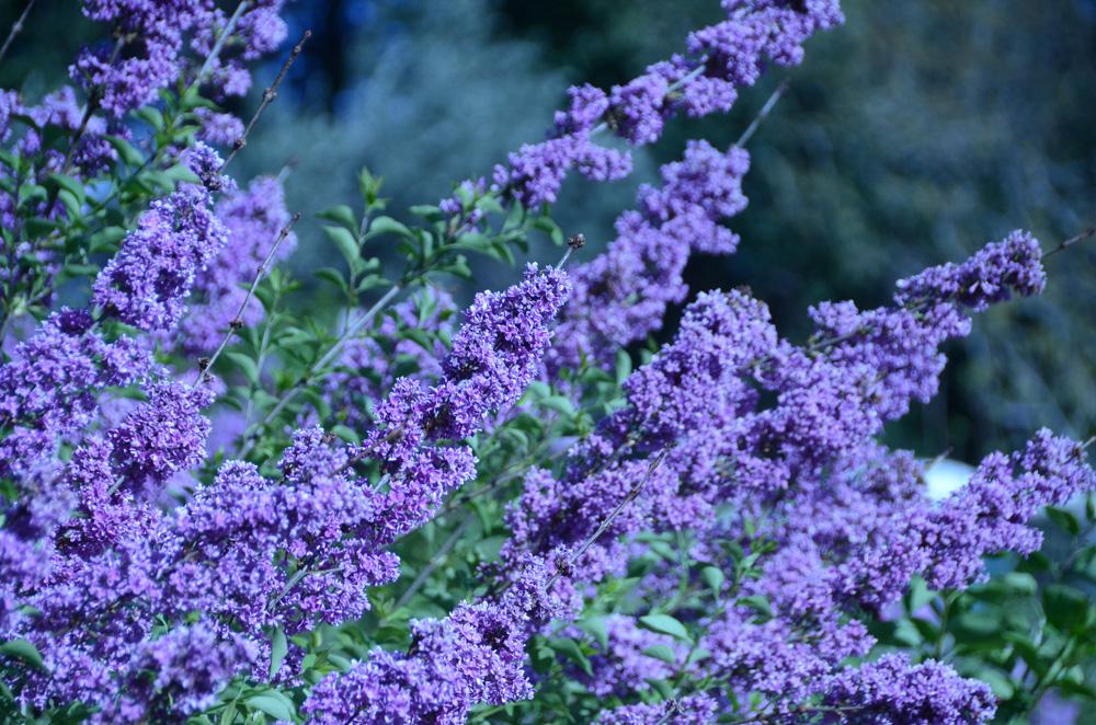 В Никитском ботаническом саду зацвёл сирингарий 4