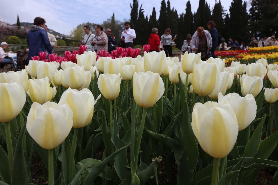 В Никитском Ботаническом саду открылся парад тюльпанов