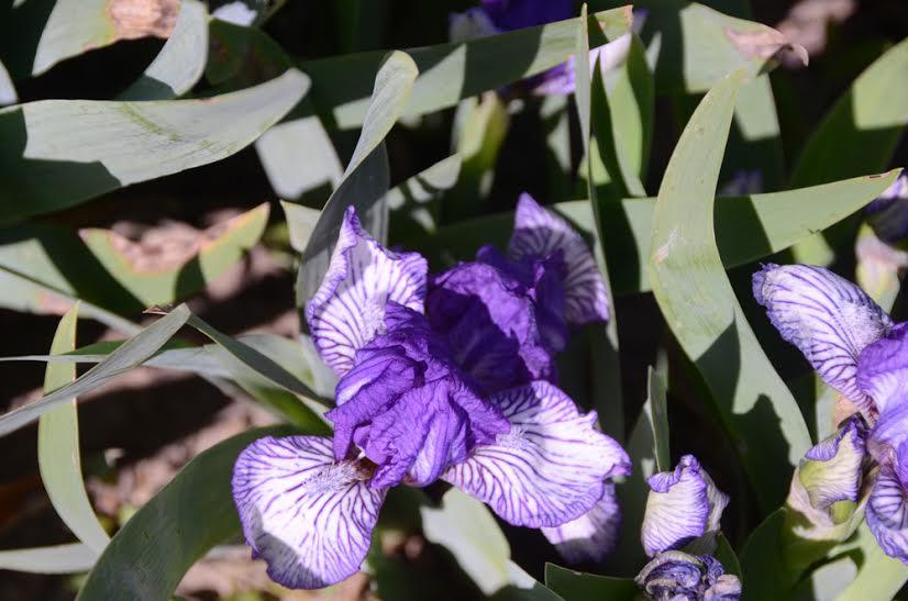 Ирисы в Никитском ботаническом саду 2