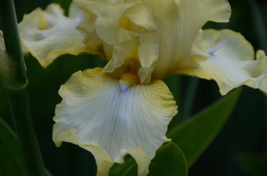 Ирисы в Никитском ботаническом саду 3