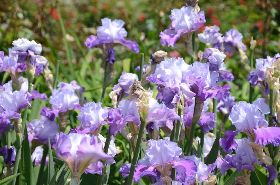 Ирисы в Никитском ботаническом саду 5