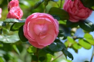 В Никитском ботаническом саду откроется выставка «Розовый вальс»