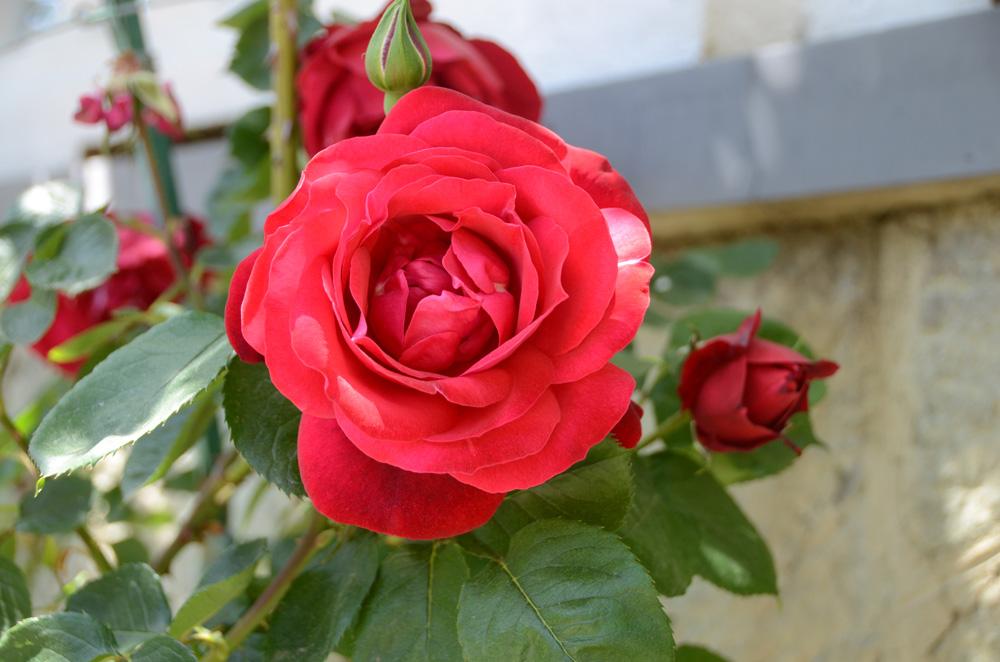 Выставка роз в Никитском ботаническом саду 3