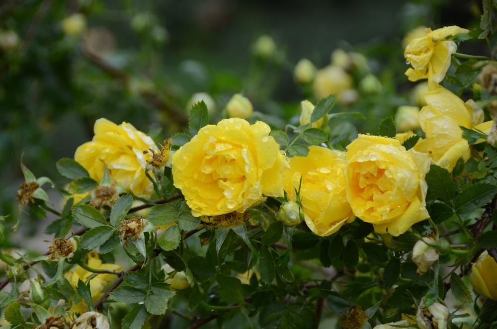 Выставка роз в Никитском ботаническом саду 2