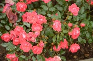 в Никитском ботаническом саду стартовал «Розовый вальс»