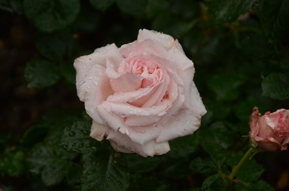 Розы Никитского ботанического сада 4