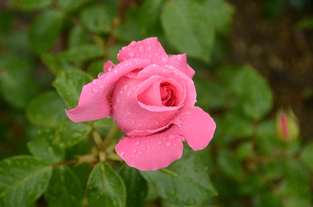 Розы Никитского ботанического сада 3