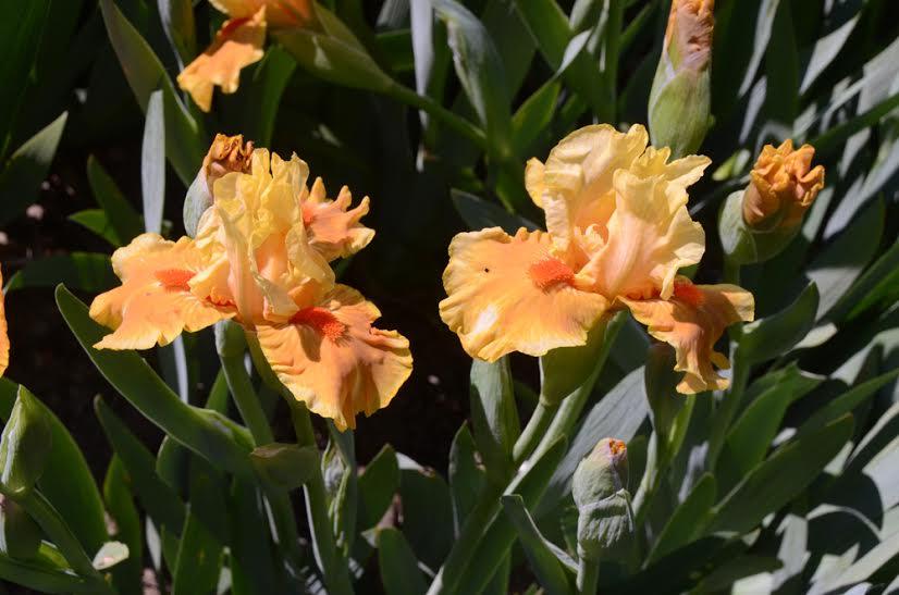Ирисы в Никитском ботаническом саду