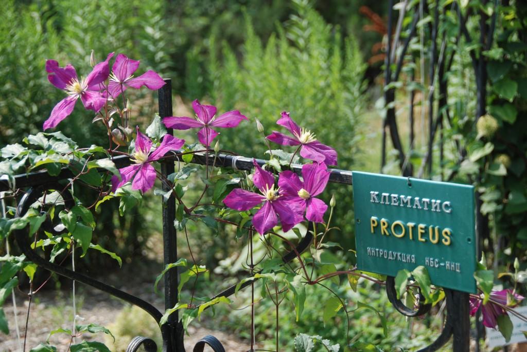 Клематисы в Никитском ботаническом саду 6
