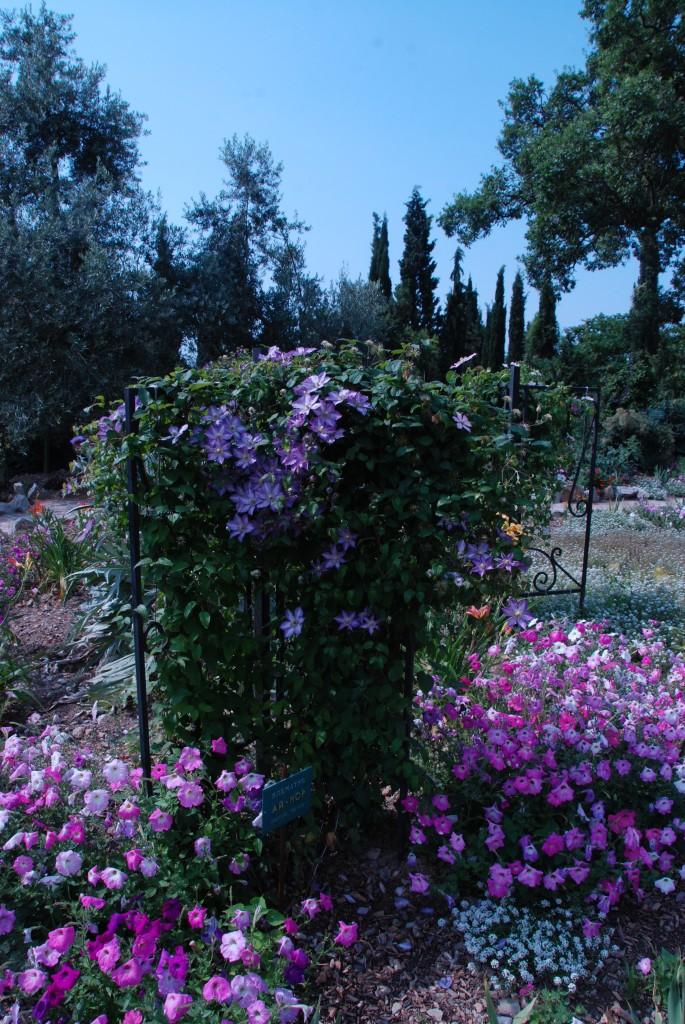 Клематисы в Никитском ботаническом саду 5