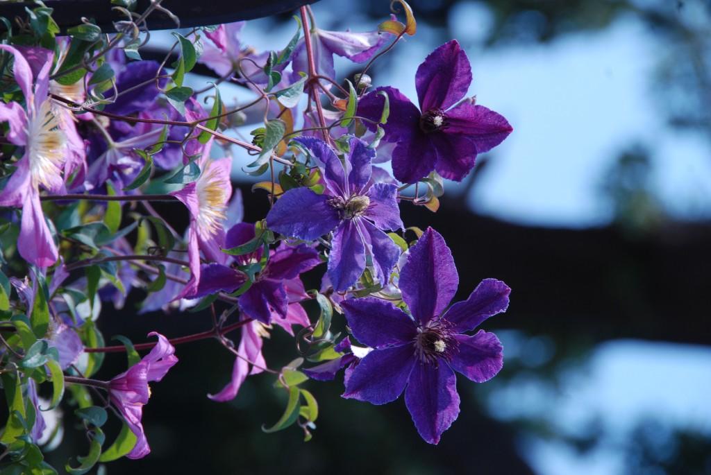 Клематисы в Никитском ботаническом саду 4