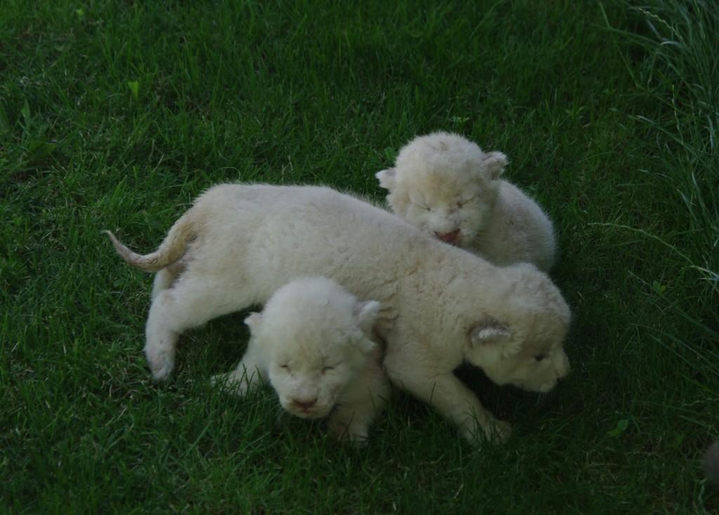 Белые львята в Тайгане