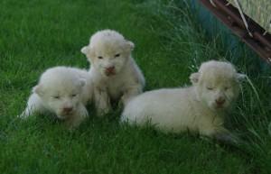 В «Тайгане» на свет появились трое белых львят