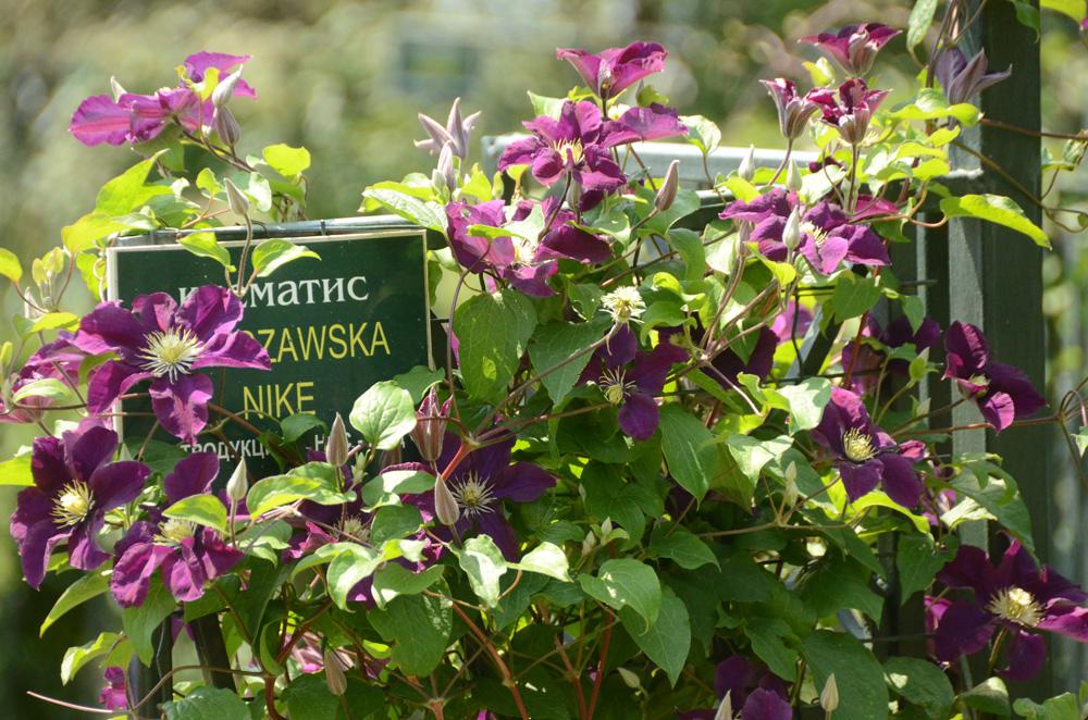 Клематисы в Никитском ботаническом саду