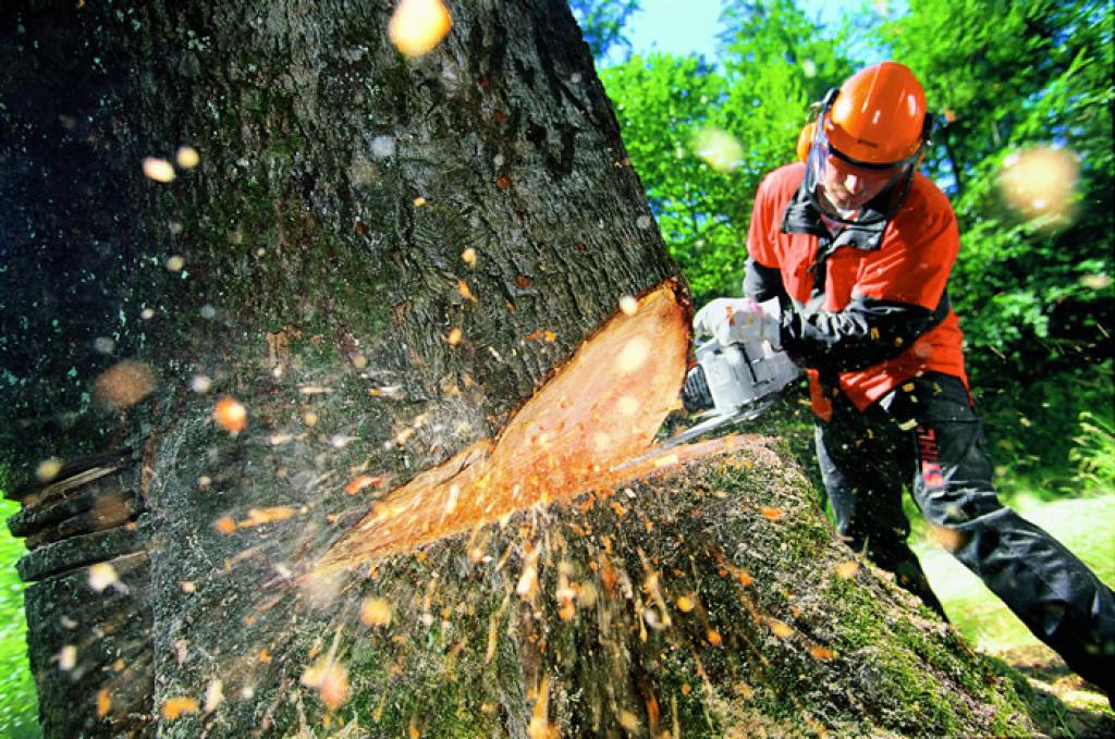 В Ласпи незаконно вырубили 17 реликтовых деревьев
