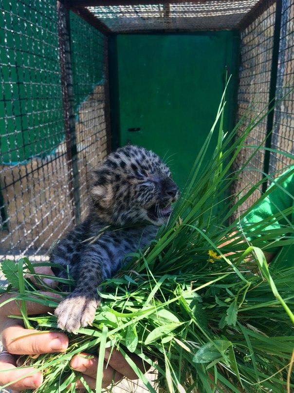 В парке львов «Тайган» родился детёныш леопарда