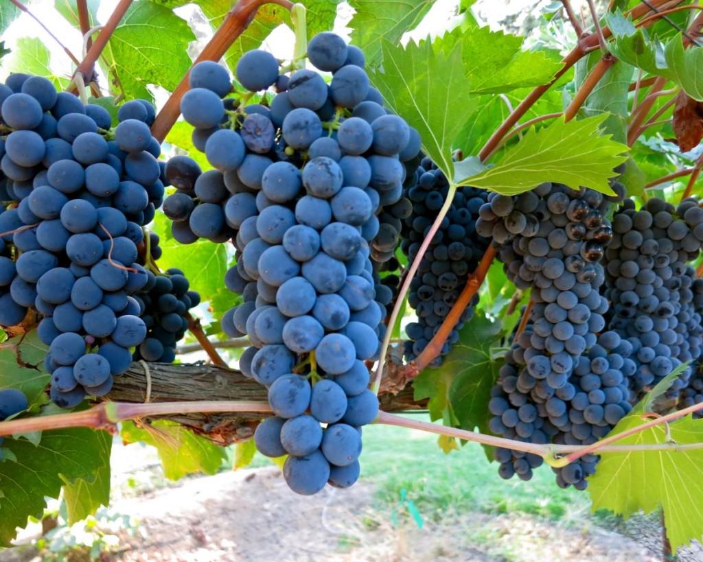Сорт винограда Sangiovese