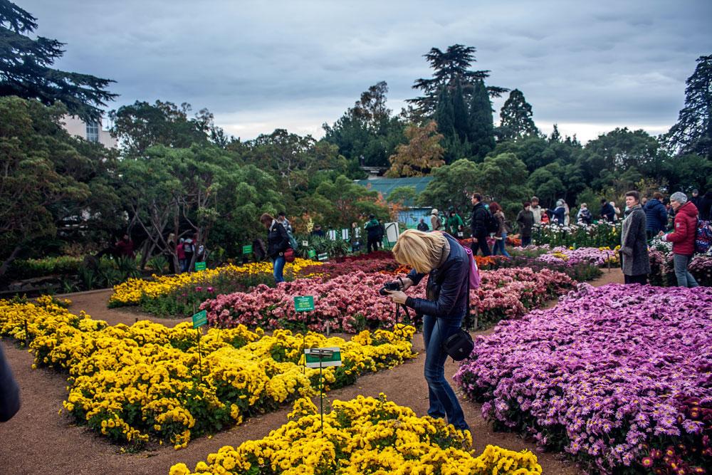 Хризантемы в Никитском Ботаническом саду 2016 3