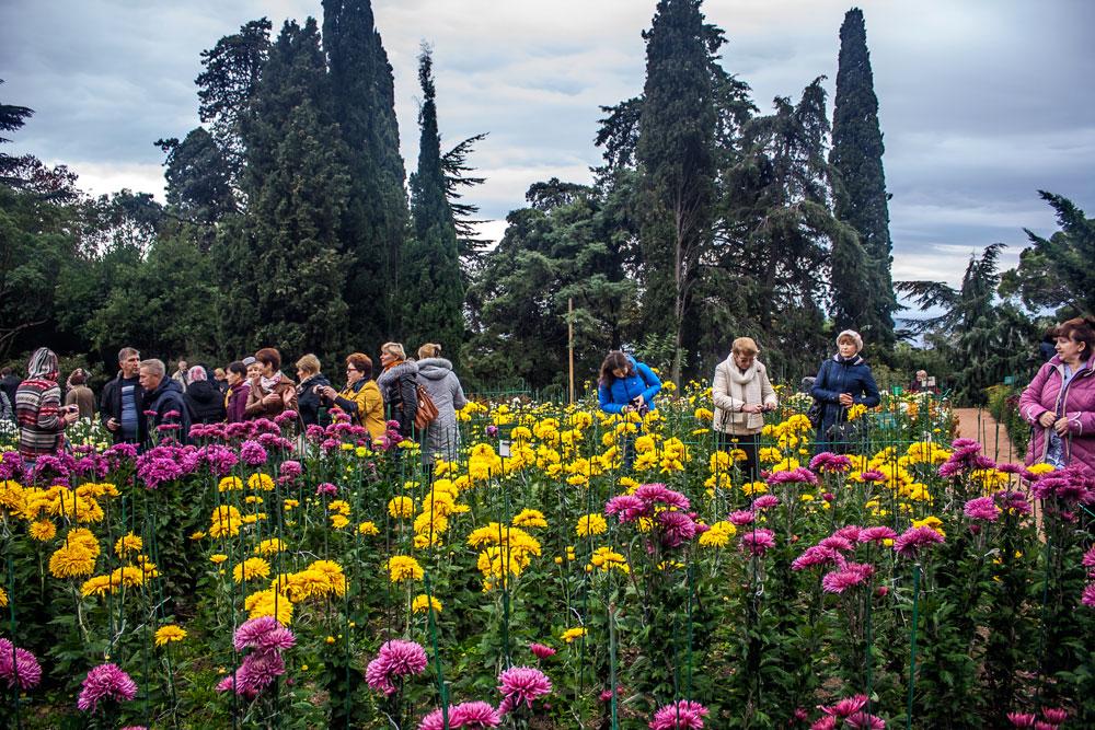 Хризантемы в Никитском Ботаническом саду 2016 4