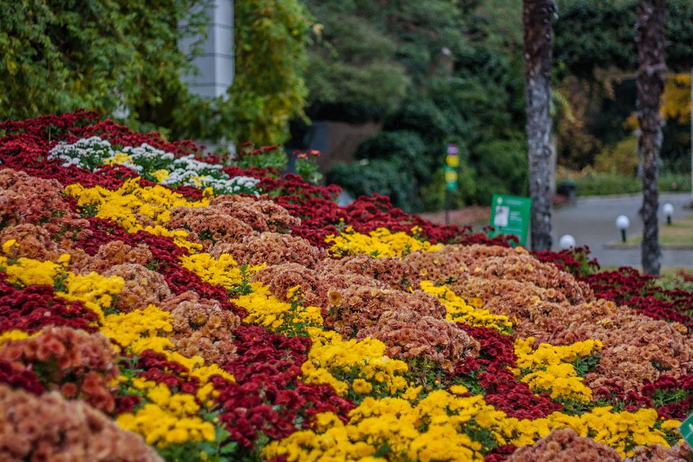 Хризантемы в Никитском Ботаническом саду 2016 5