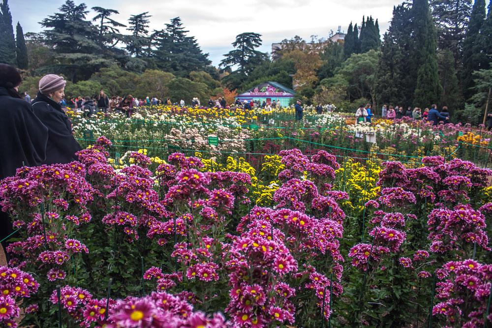 Хризантемы в Никитском Ботаническом саду 2016 6