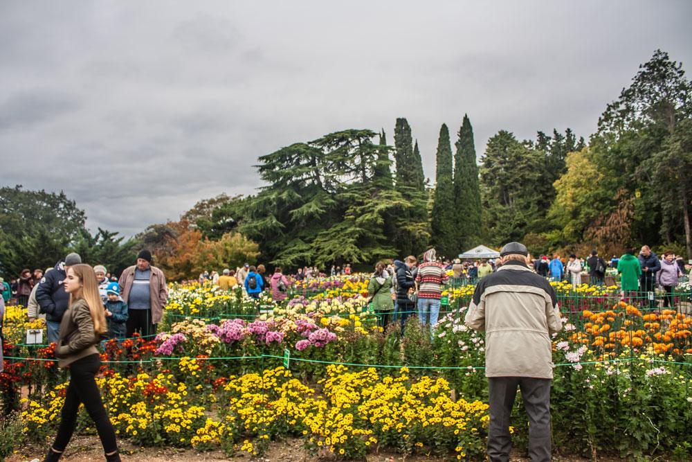 Хризантемы в Никитском Ботаническом саду 2016 7