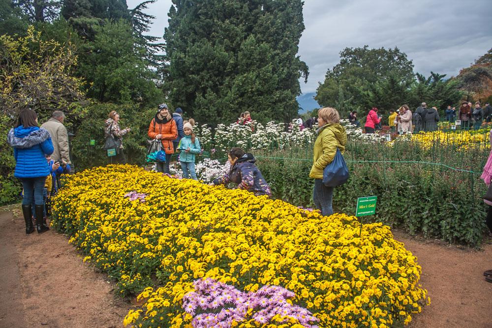 Хризантемы в Никитском Ботаническом саду 2016 8