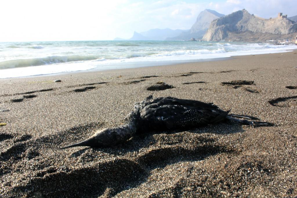 Мёртвая птица на берегу Судака