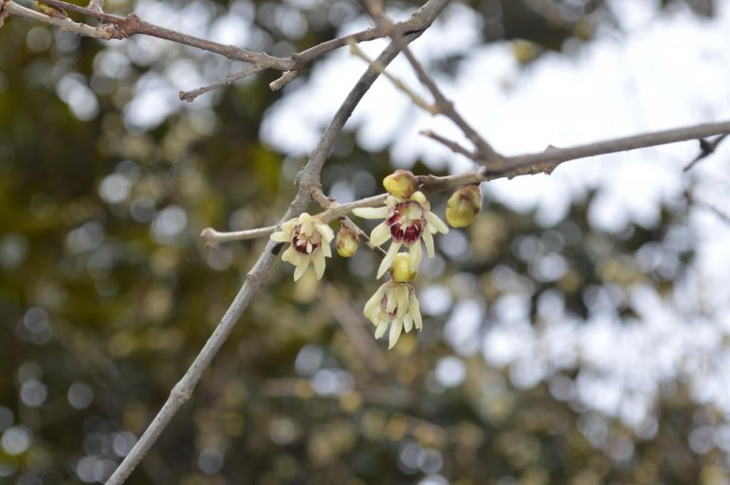 Цветущий химонантус (зимоцвет)