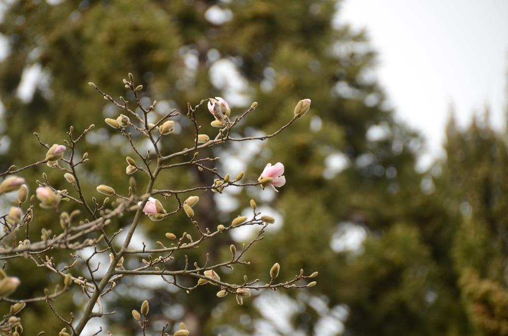 В Никитском Ботаническом саду зацвела магнолия Лебнера 6
