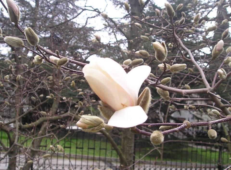 В Никитском Ботаническом саду зацвела магнолия Лебнера 3