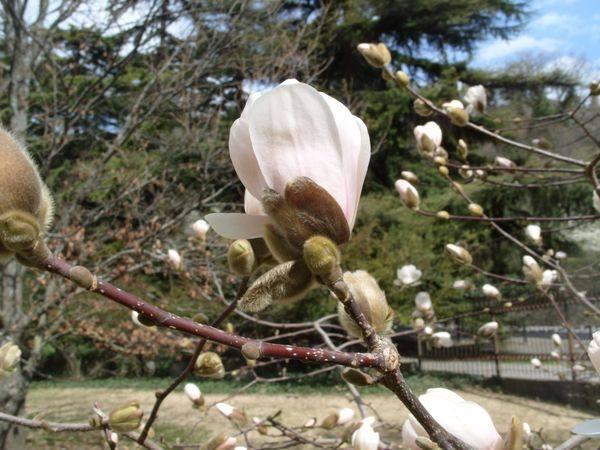 В Никитском Ботаническом саду зацвела магнолия Лебнера 2