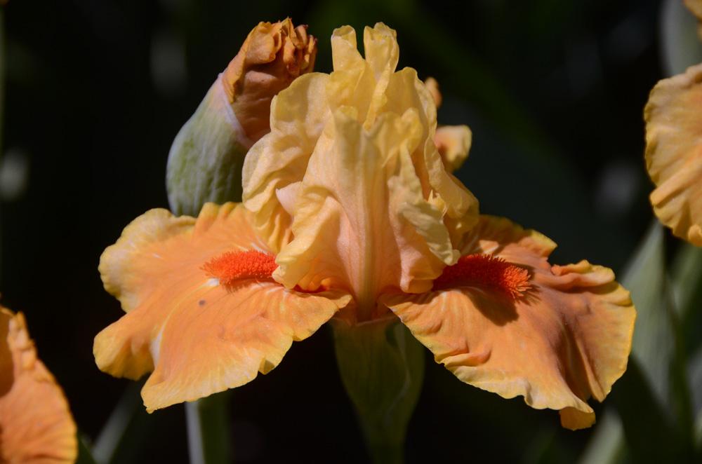 В Никитском ботаническом саду зацвели ирисы
