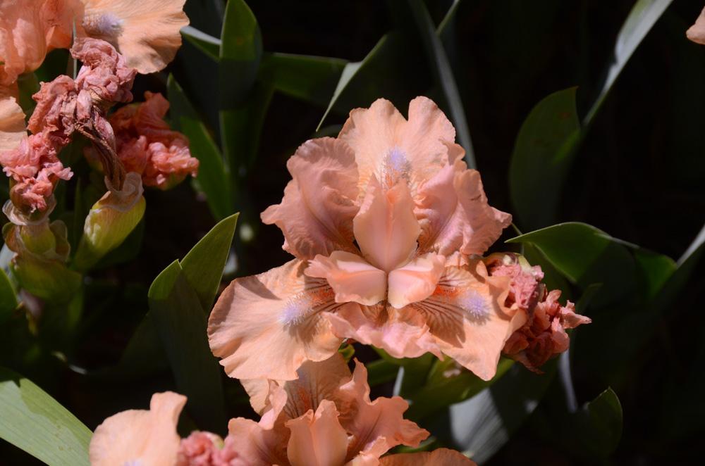 В Никитском ботаническом саду зацвели ирисы 7