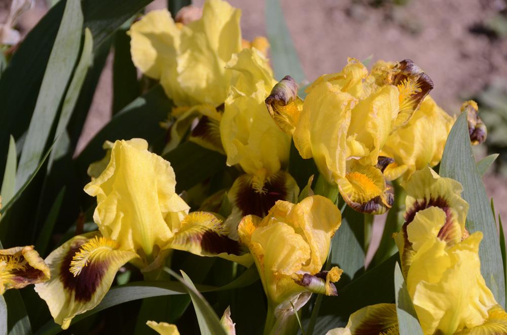 В Никитском ботаническом саду зацвели ирисы  2