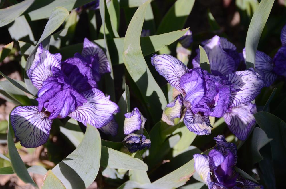 В Никитском ботаническом саду зацвели ирисы 3